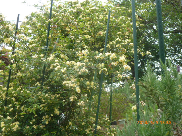 2014.5.5黄色モッコウバラ
