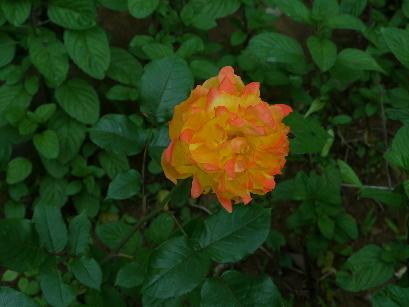 2012.6.3バラ橙