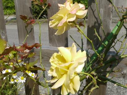 2012.5.27ツルバラ黄色
