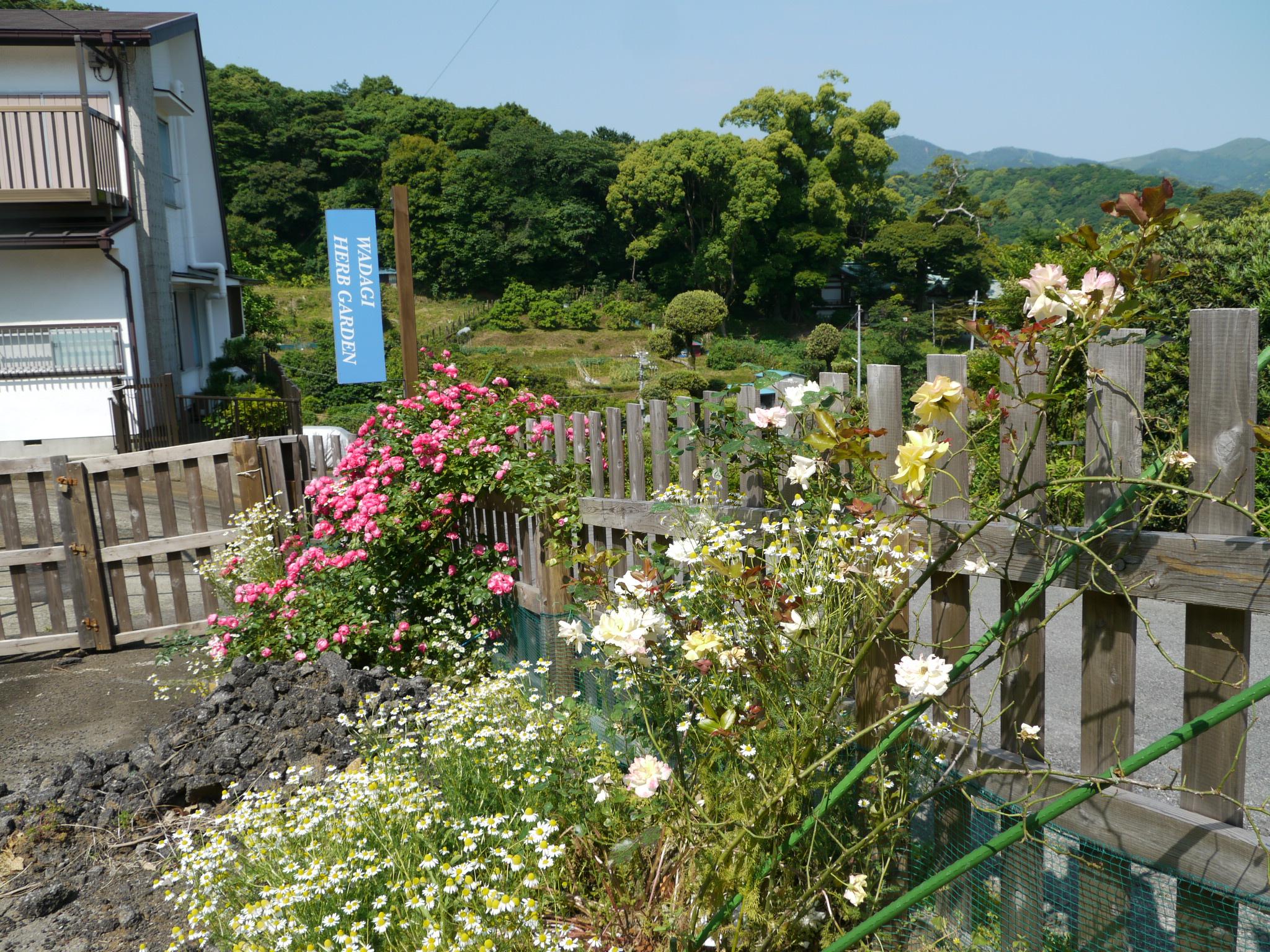 ツルバラピンク・白・黄2012.5.27