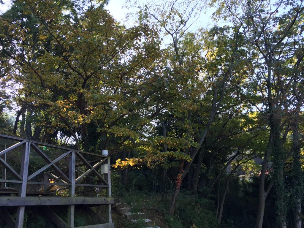 2014.11.23晩秋のハーブ園 やや黄葉してきた
