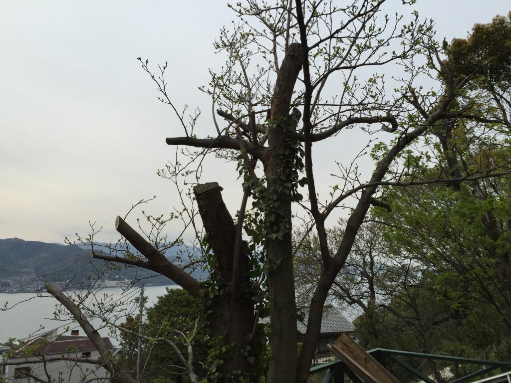 剪定した桑の木