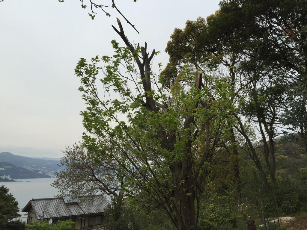 剪定した栗の木