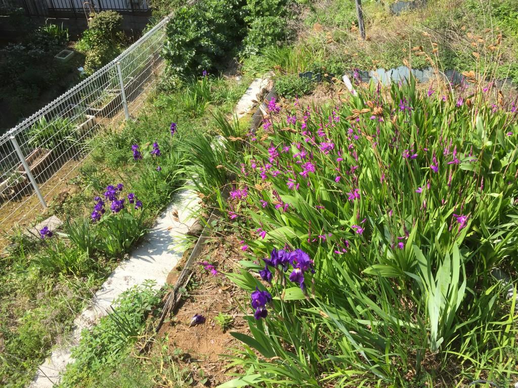 紫蘭と紫色のアヤメ