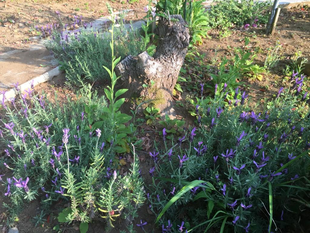 紫リボンラベンダー(六段目花壇)