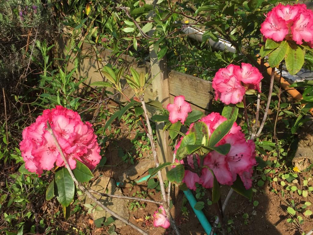 シャクナゲ(すり鉢花壇)