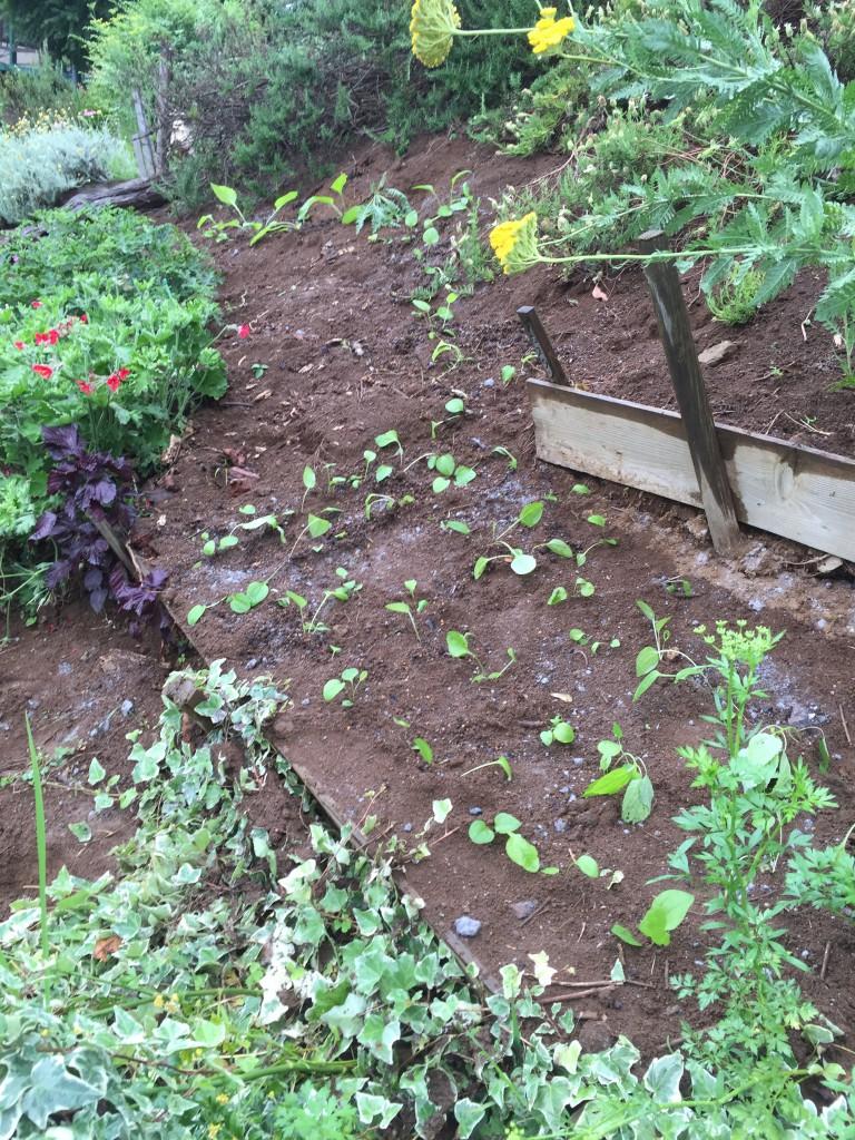 植え付けしたエキナセア (三段目花壇の斜面)