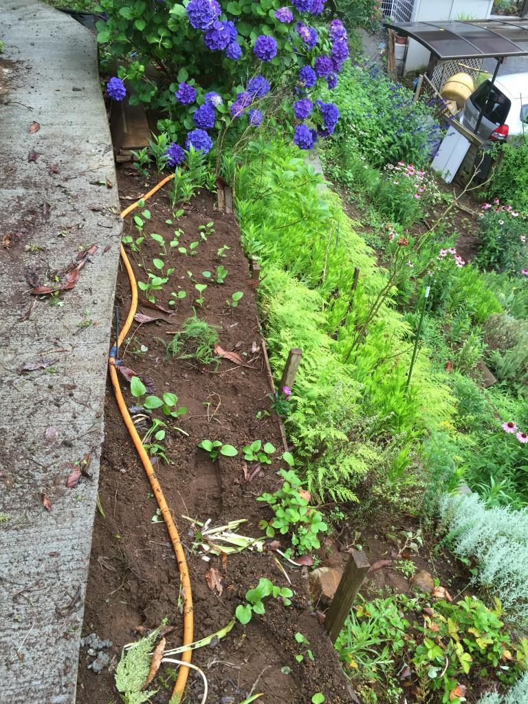 植え付けしたエキナセア (花壇Pの中段)