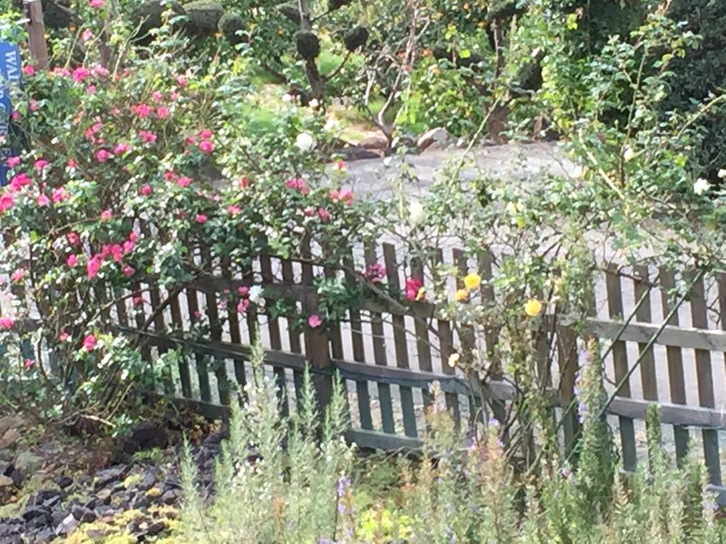 四季咲きのツルバラ