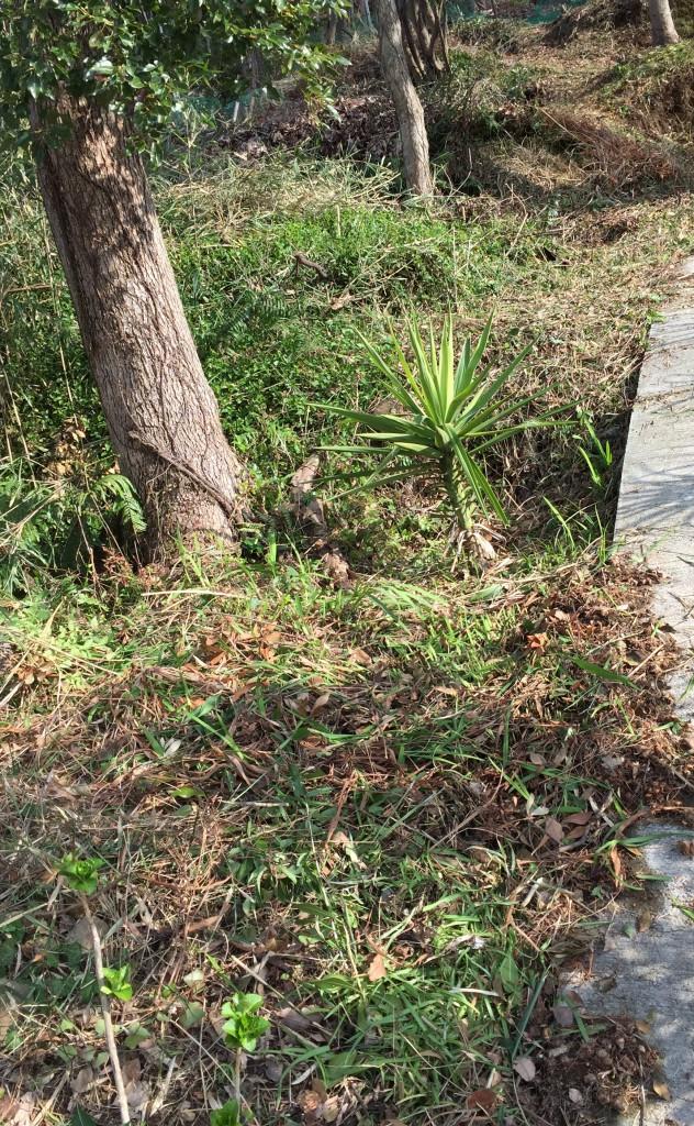 花壇⑥の東側の草刈の終了した状態